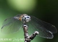 dragonfly (4)