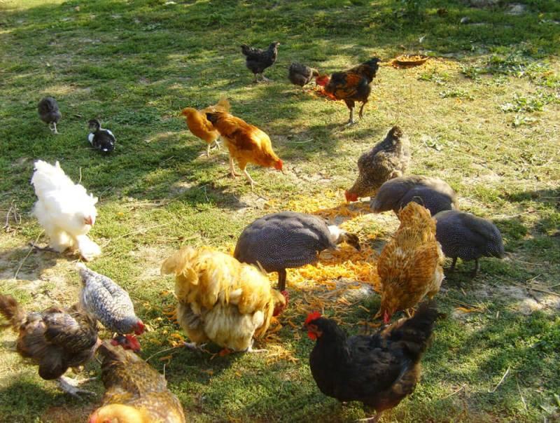 găini, gâşte, raţe mute, bibilici, curci la Ferma lu Mos Ghita