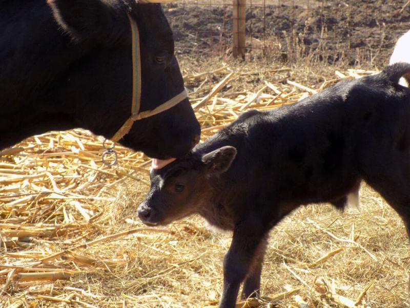 vaca si vitica la Ferma lu Mos Ghita