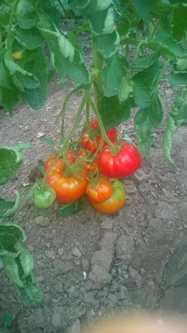 Gusturi de altadata, legume naturale romanesti (6)