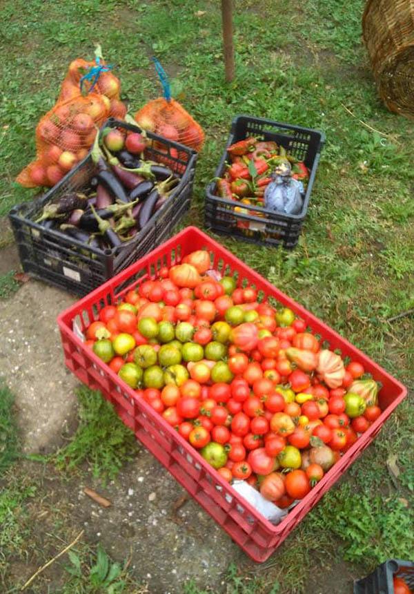 Recolta de rosii, vinete si ardei la intreprinderea agricola La Borcan