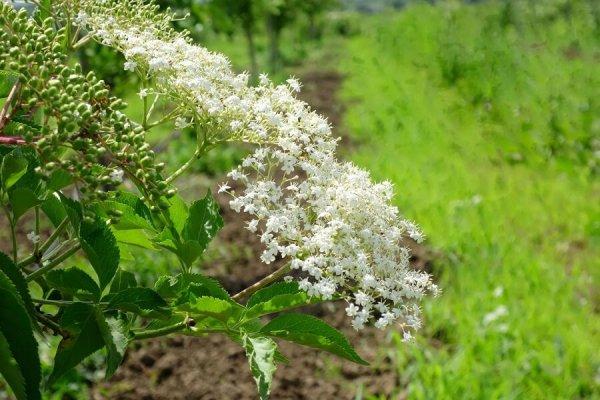 Sana plant extract, plantatie lavanda, mur, soc si aronia, sucuri naturale (28)