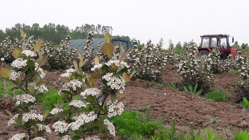 Sana plant extract, plantatie lavanda, mur, soc si aronia, sucuri naturale (5)