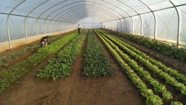 Tomatina, cooperativa agricola din judetul Ilfov gradina cu aplicatie livrare mancare, comanda mancare Bucuresti sau livrare mancare Bucuresti (3)