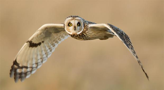 Short-eared Owls are frequently seen hunting over Rhaslas Pond