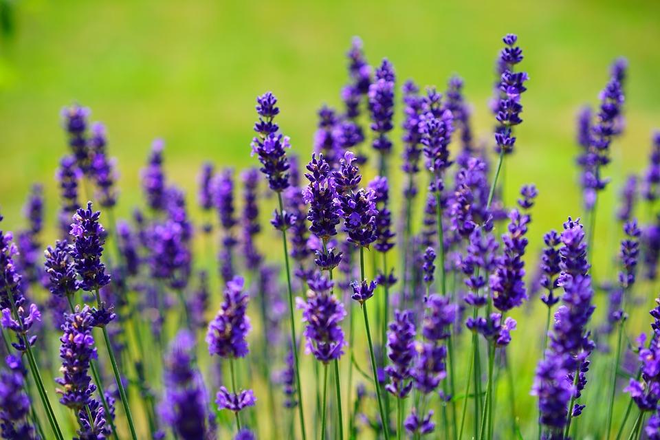Bildergebnis für lavender