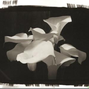 Platinum print of Calla Lilies