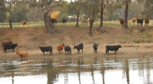 cattle in Murray, Albury