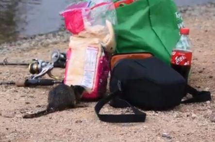 water-rat scavenging bread 1 (Andrew Fishman)