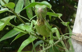 iguana in jasmine m