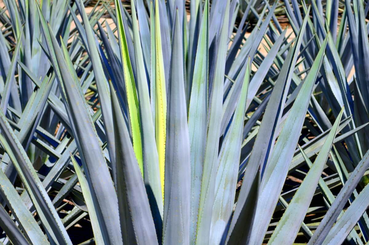 Agave Azul Tequilina Weber