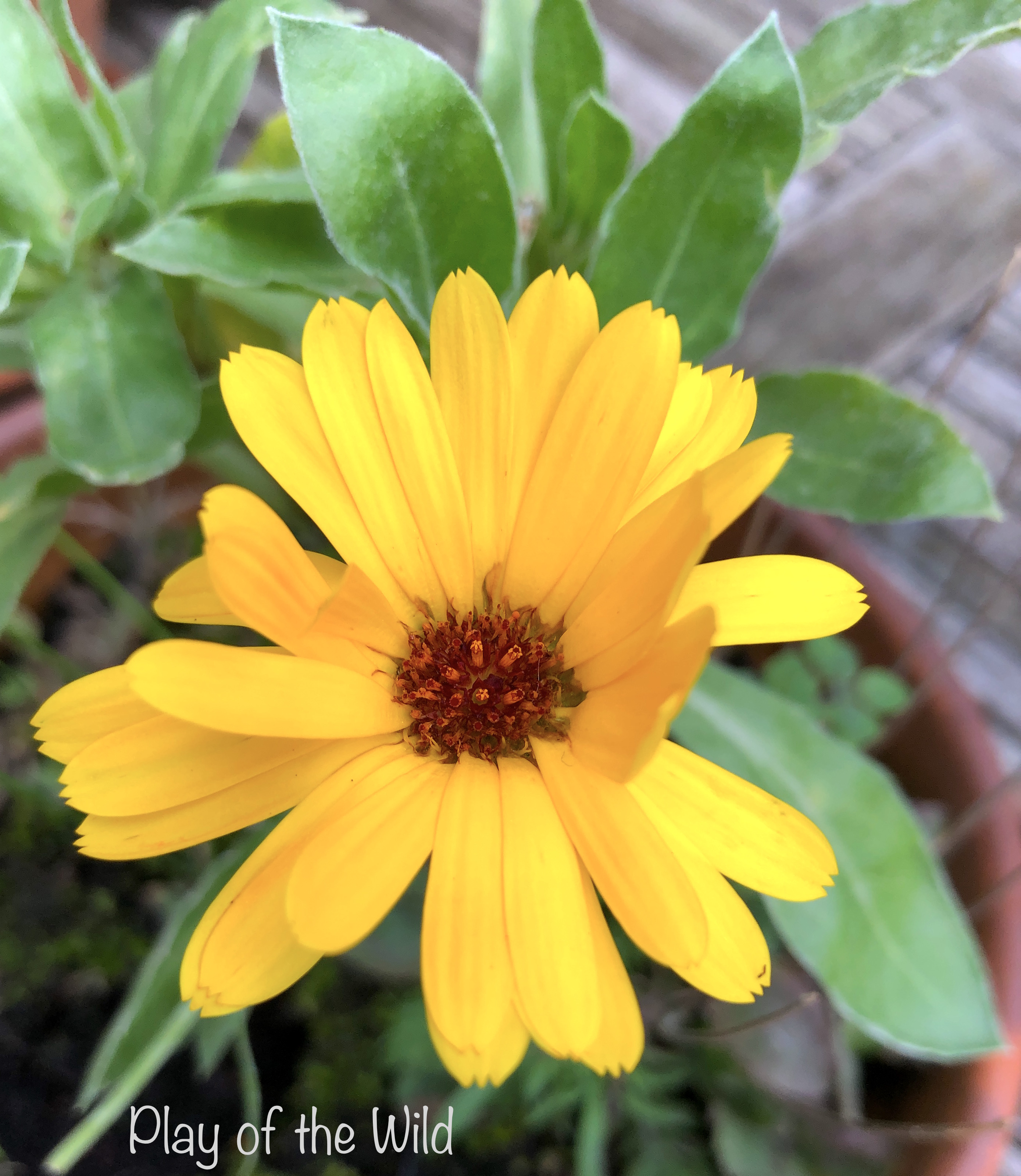 Calendula flower grown by children.