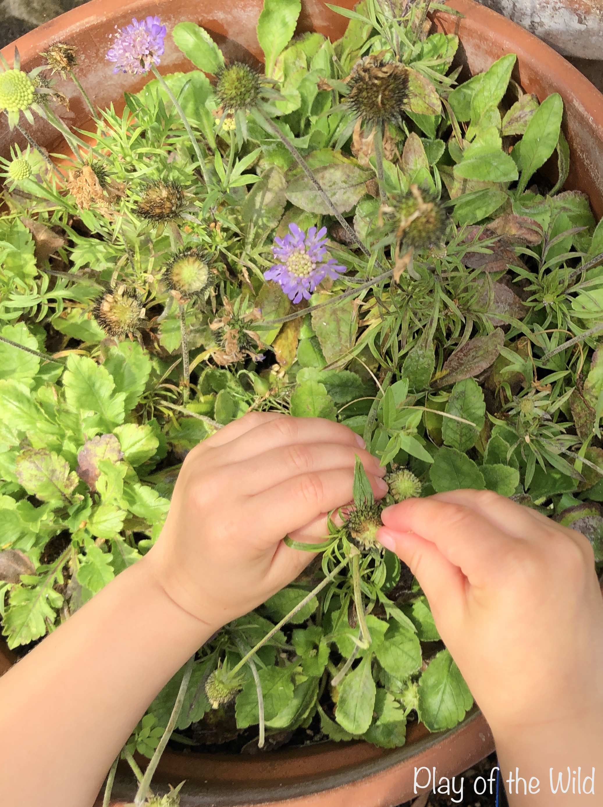 Teaching Kids about Gardening. Collecting Scabiosa seeds.