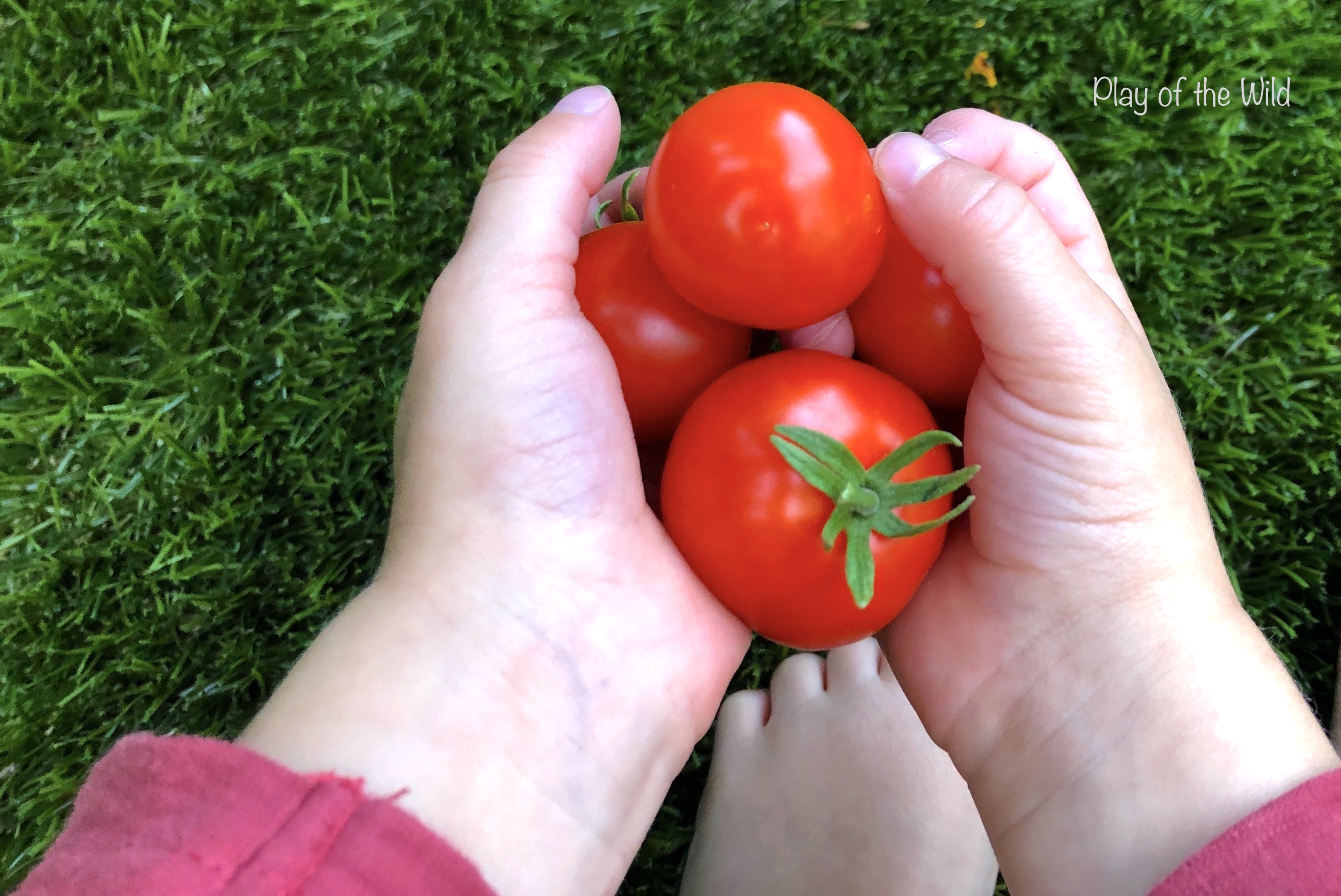 Growing Tomatoes with Children.