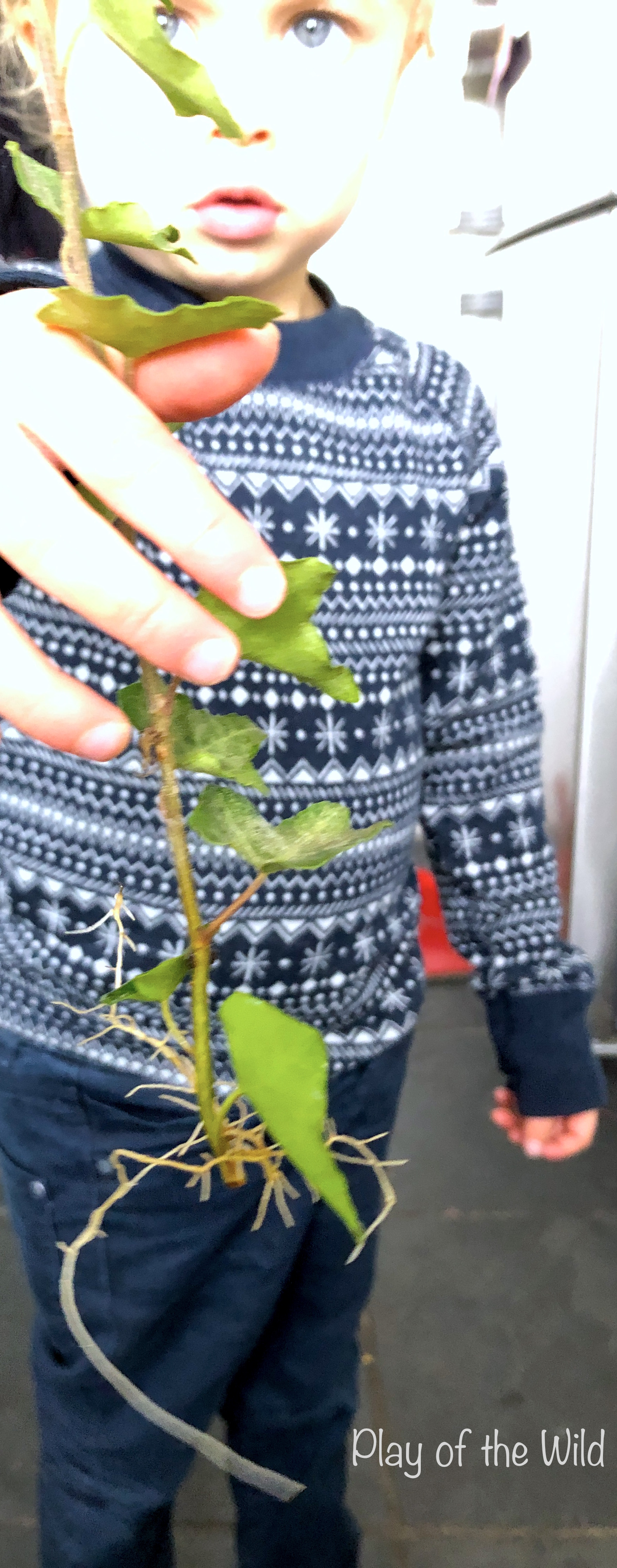 Rooting ivy plants with children. Propagating Plants in Water.