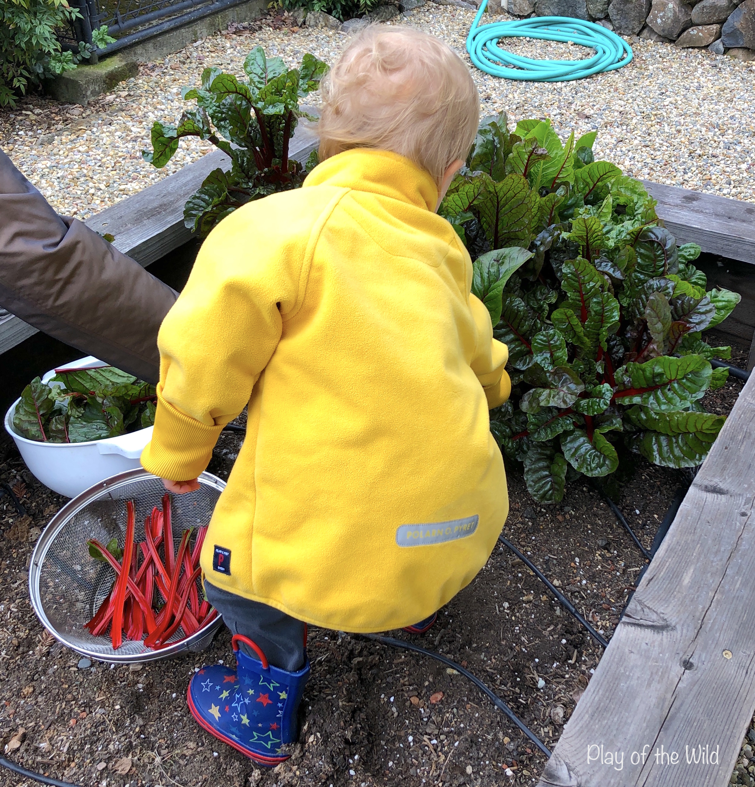 Outdoor Autumn & Winter Garden Activities for Children. picking swiss chard / rainbow chard.