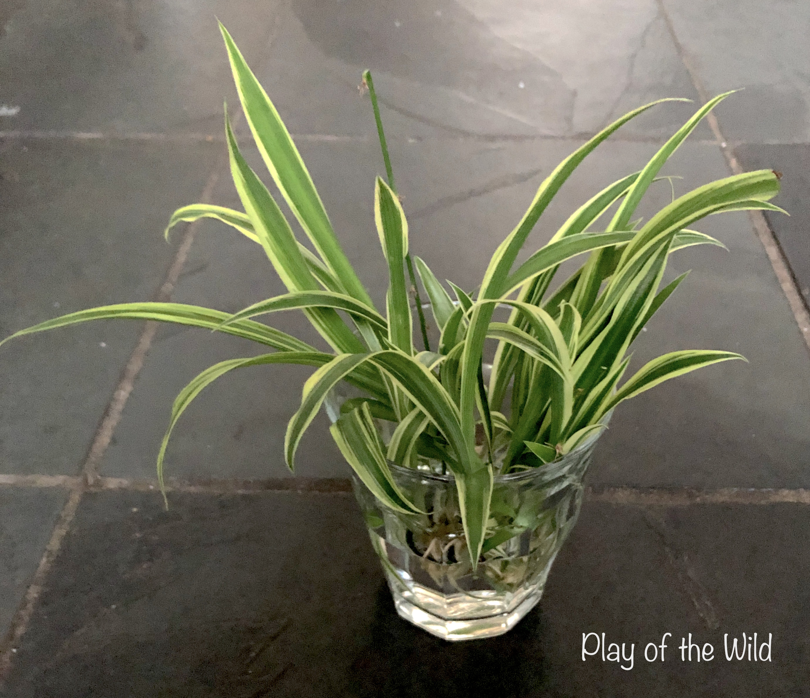 growing spider plants in water with children.