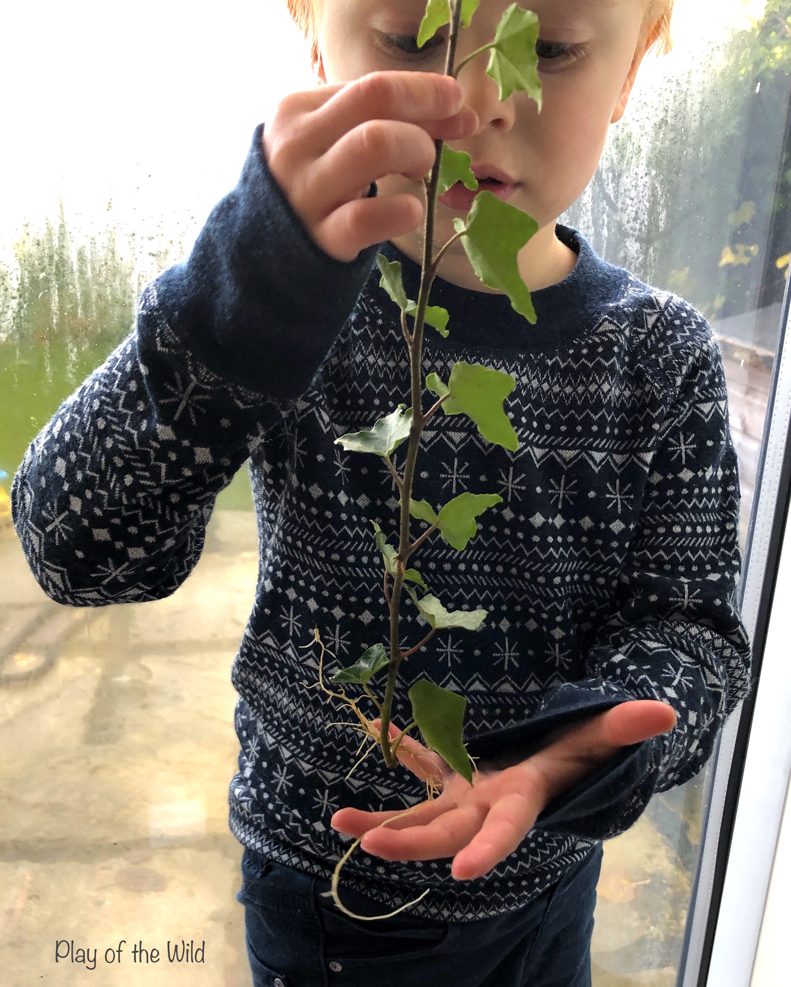 Propagating Plants in Water. rooting ivy plants with children.