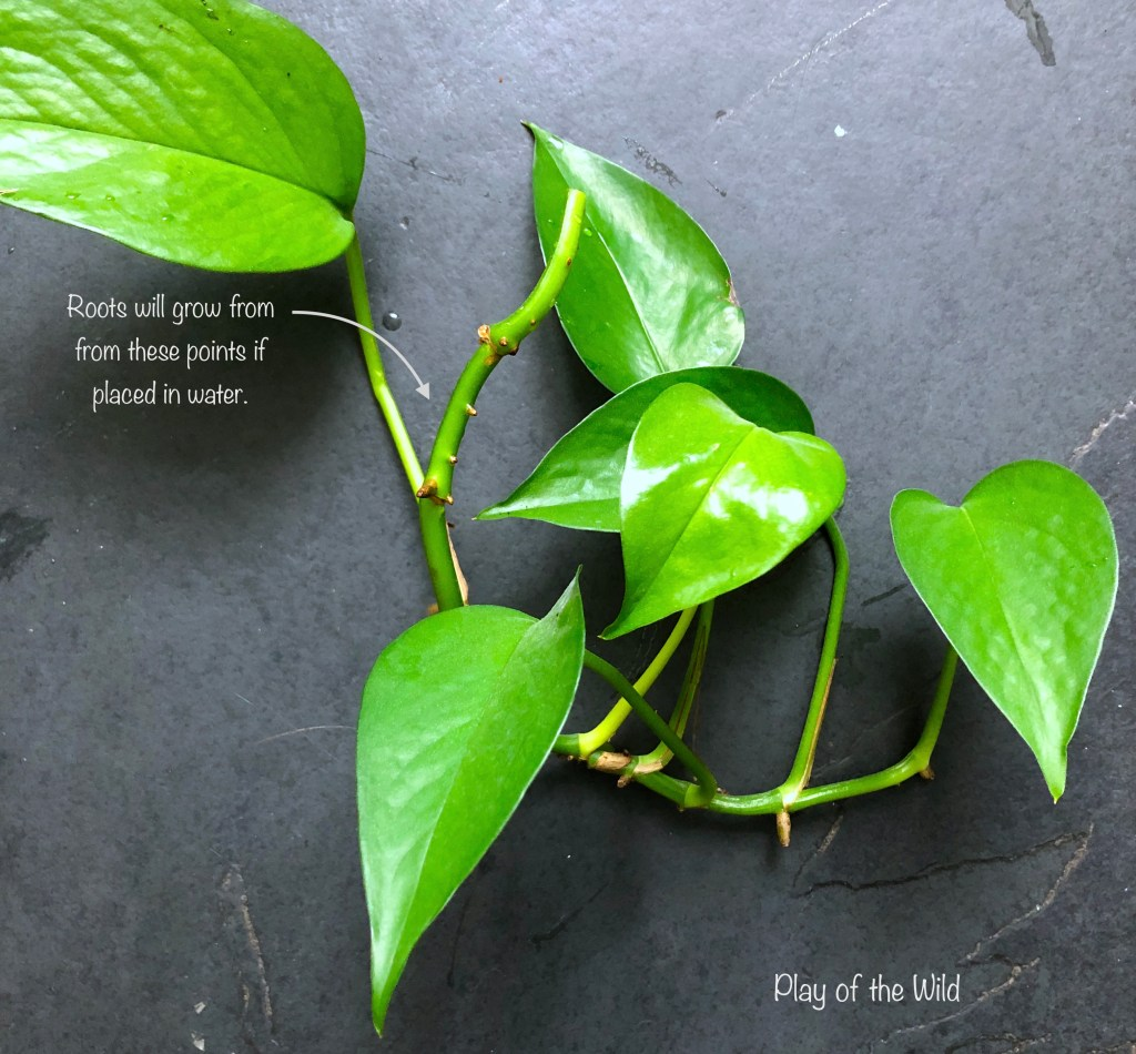 Propagating Plants in Water with children. growing pothos from cuttings.