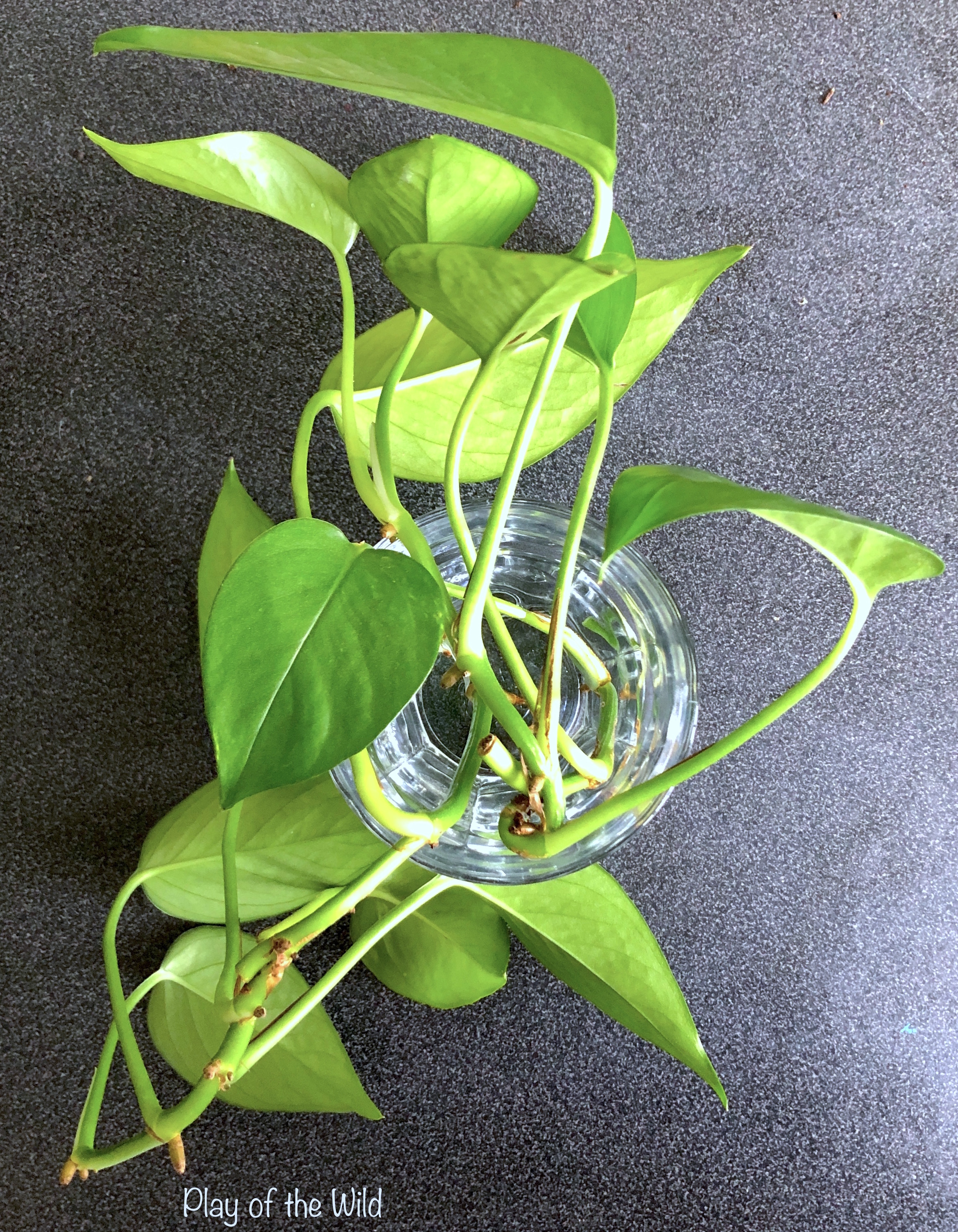 growing pothos from cuttings.