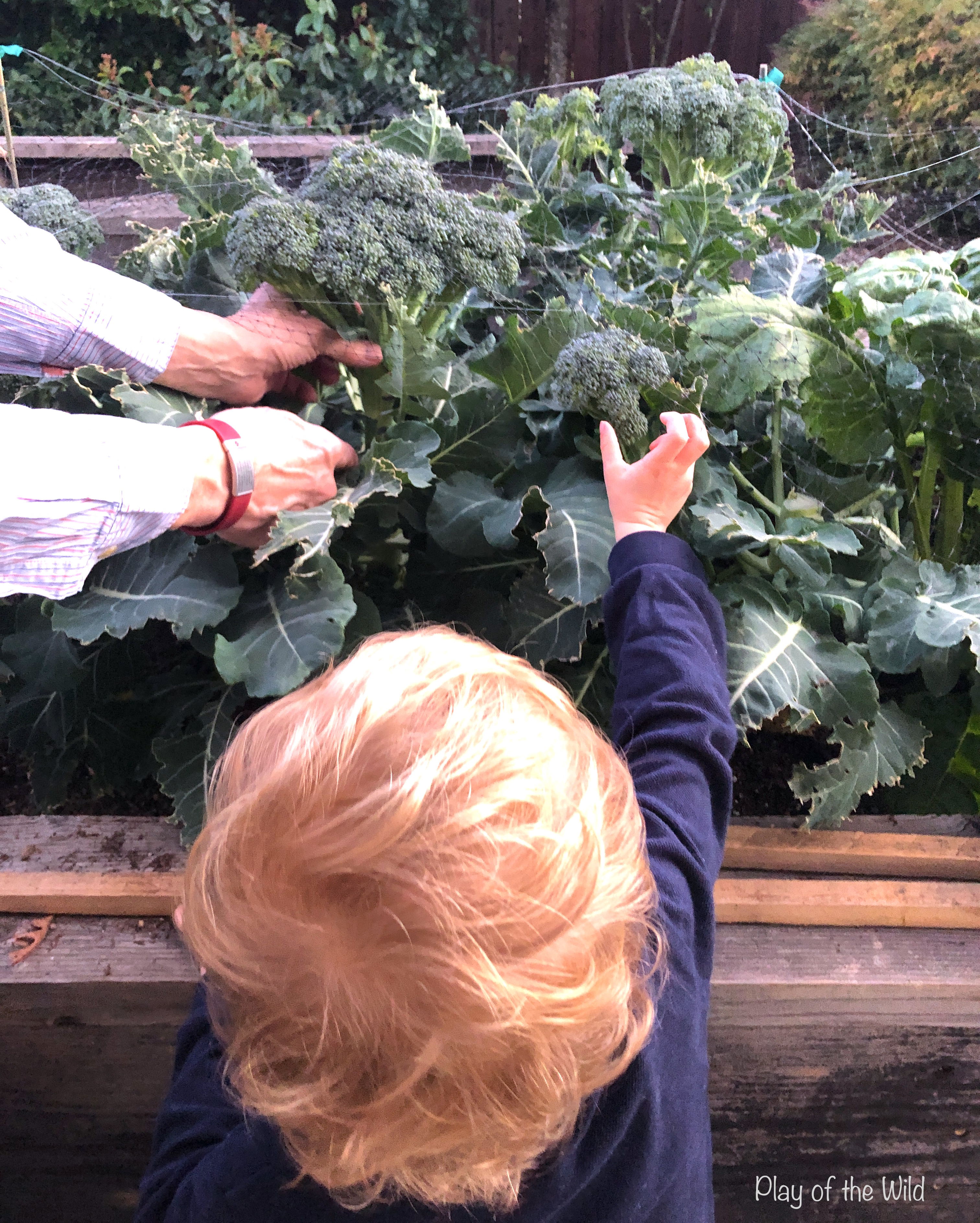 growing broccoli with children. How to make a vegetable garden for kids.