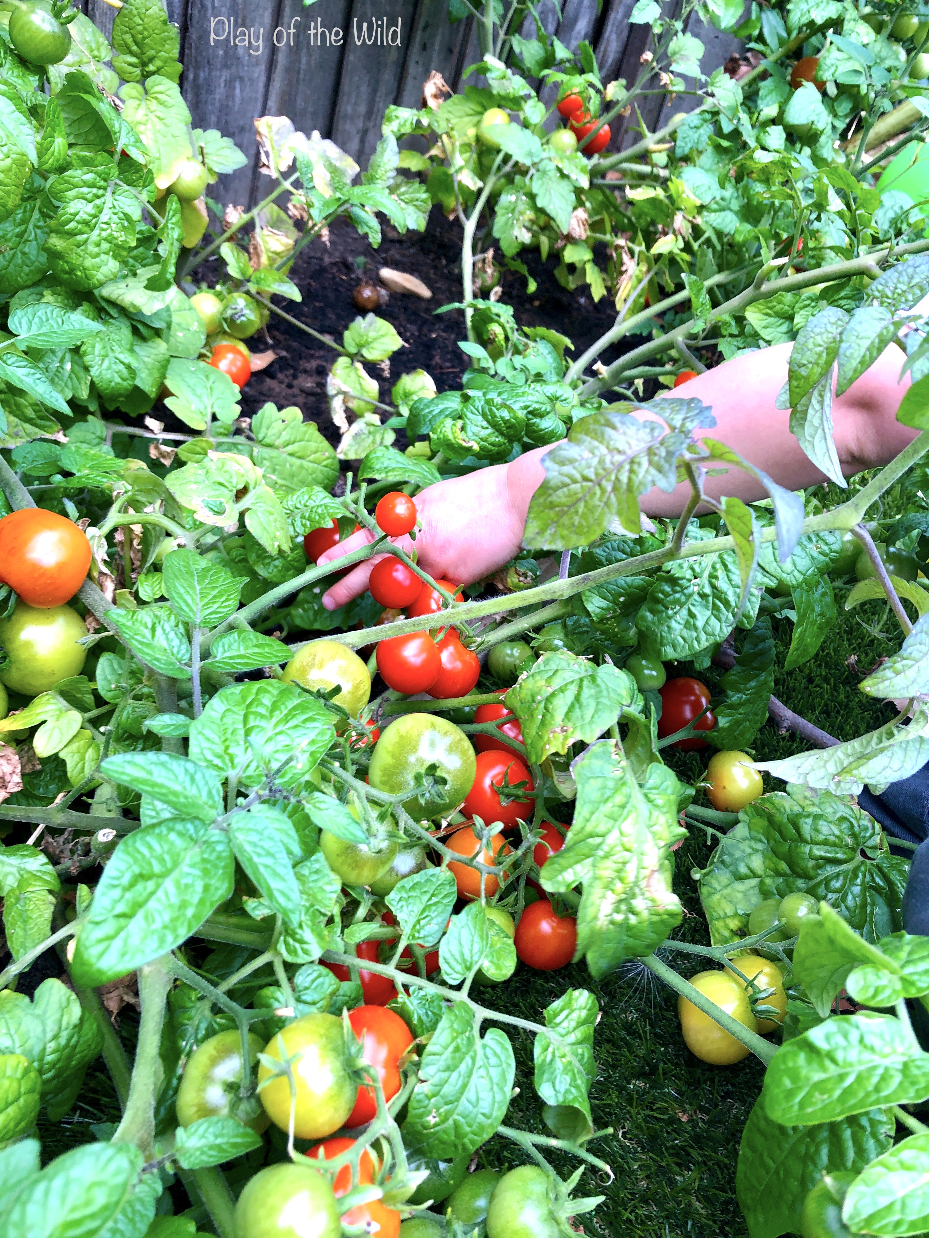 growing tomatos with children. Outdoor Problem Solving Activities KS2 – Learning Maths Outdoors