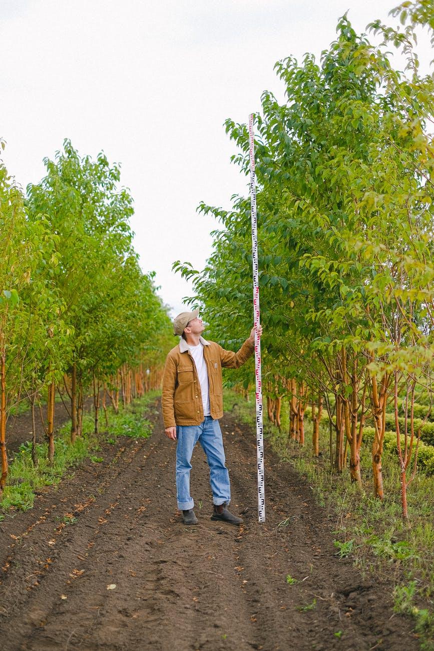 gardener measuring height of trees in garden