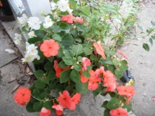 Potted begonias, impatiens, and fuschia