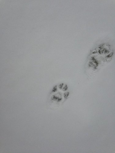 """Wolf tracks. I wish I'd put in something for scale. About the size of the palm of my hand. Roughly 3""""x3"""""""