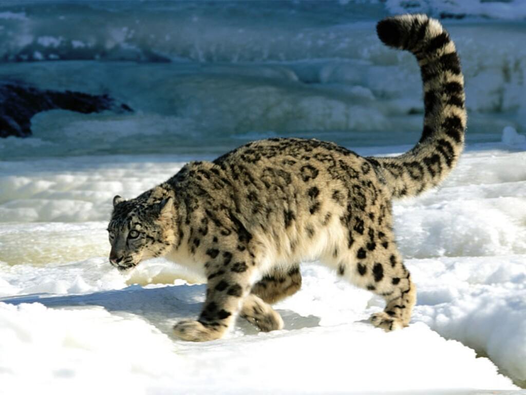 Resultado de imagen para images snow leopard