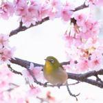中央線沿線の桜名所2018開花と見頃情報!花見におすすめの時期は?