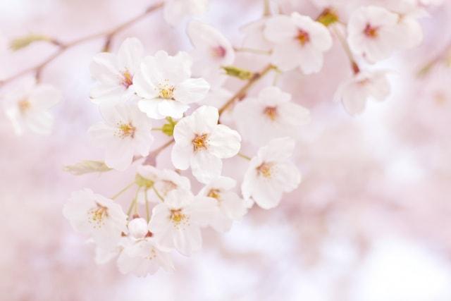 白石城桜まつり2018日程とライトアップ時間!駐車場もチェック