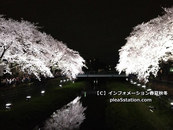 調布野川の桜ライトアップの様子