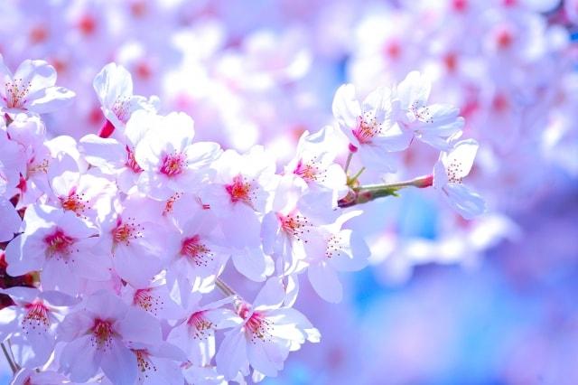 国立桜祭り2019日時と開花状況・見頃をチェック!屋台の出店も注目
