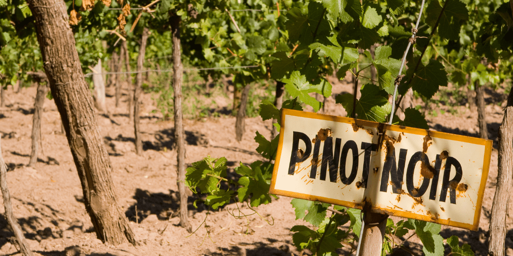 Mclaren Vale Grenache is fast becoming seen as a warm climate Pinot Noir