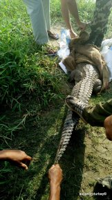 A crocodile that got into a nearby village so captured and were releasing back in the park