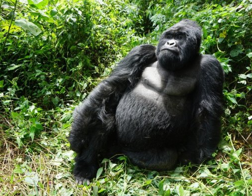 Silverback Mountain Gorilla Virunga National Park