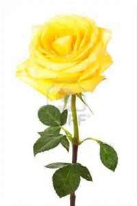 Yellow Rose-Thank You