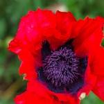 Fleur de pavot juste ouverte