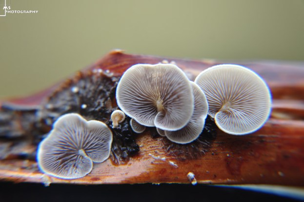 FUNGUSSYND1