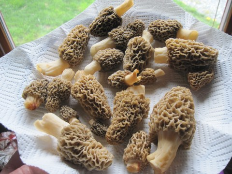 morel mushrooms vitamin d