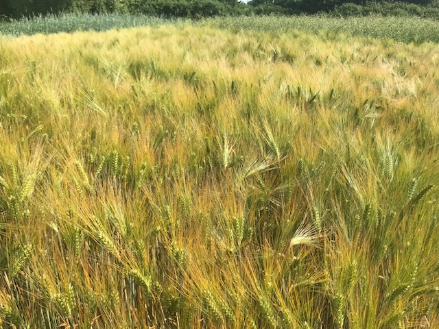 A field without weeds doesn't support biodiversity as much