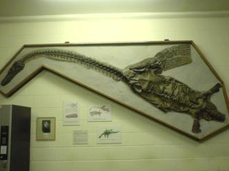 Photograph of a cast of Attenborosaurus in the Department of Earth Science, Oxford University. Photographs by Cait, used with kind permission.