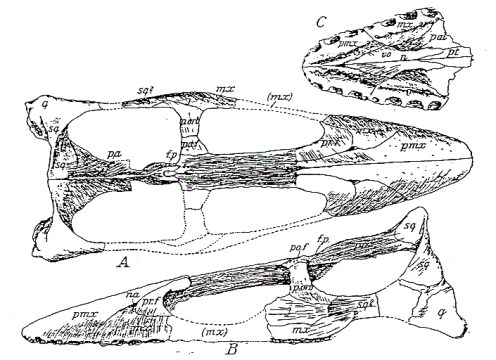 Skull of Brancasaurus in dorsal and lateral view, and showing the tip of the snout (C) in ventral view (from Wegner, 1914)