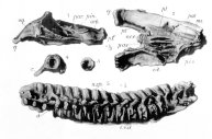 Cranium of Leptocleidus superstes (lateral view, top left; ventral (palatal) view, top right) and vertebrae. Length of vertebral series approx. 45cm (from Andrews, 1922)