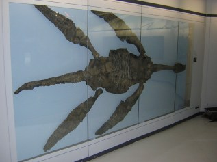 The holotype of Meyerasaurus currently on display in the Staatliches Museum für Naturkunde Stuttgart (Löwentor-Museum).