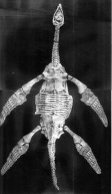 The holotype of Meyerasaurus (from Fraas, 1910).