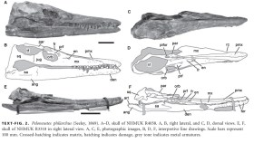 Skull of Peloneustes.