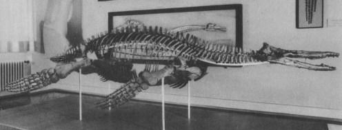 Referred specimen of Peloneustes in the Tubingen Museum, Germany.