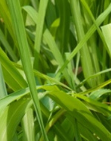Millefiori Lemon Grass